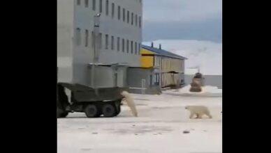 urşi polari