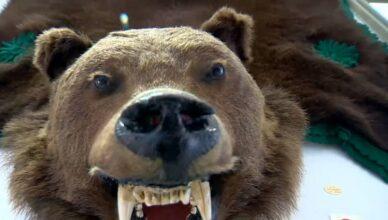 ursul vânat