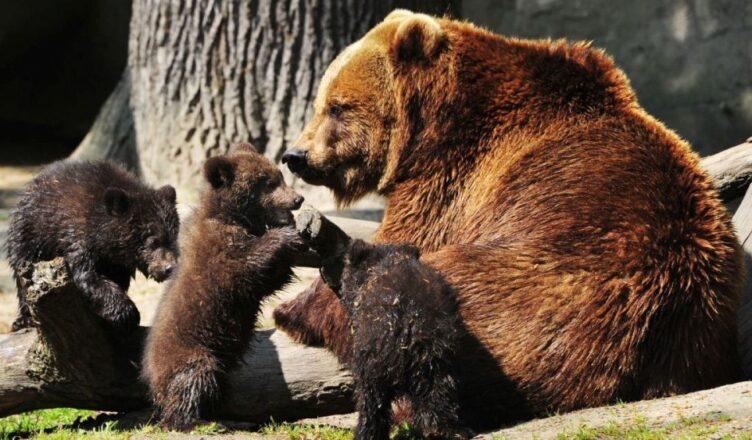 ursoaică