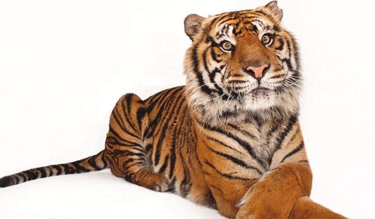 ziua tigrului