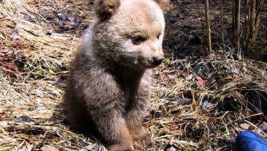 ursuleţ eutanasiat